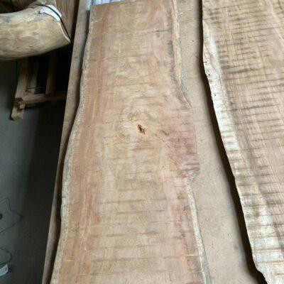 2.2 m long Tropical Almond Tree aka almond land