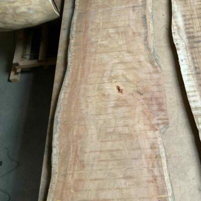 2,2 m dlouhá Tropical Almond Tree neboli mandle země